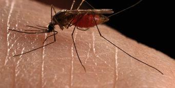 mosquito (IFAS / University of Florida)