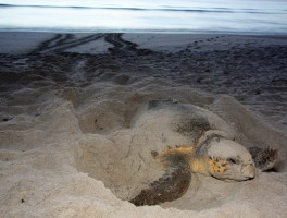 Step softly! Sea turtles nesting!
