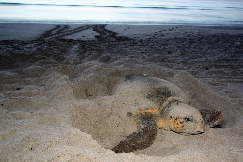 Loggerhead turtle nesting (FWC photo)