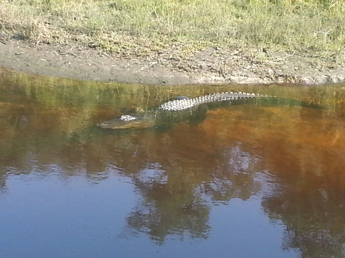 Joe The Alligator
