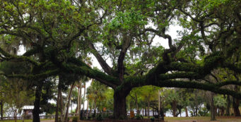 The Sentry Oak at Oaks by the Bay Park