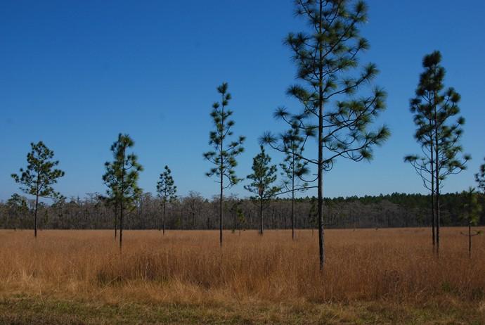 Apalachee Savannas in winter