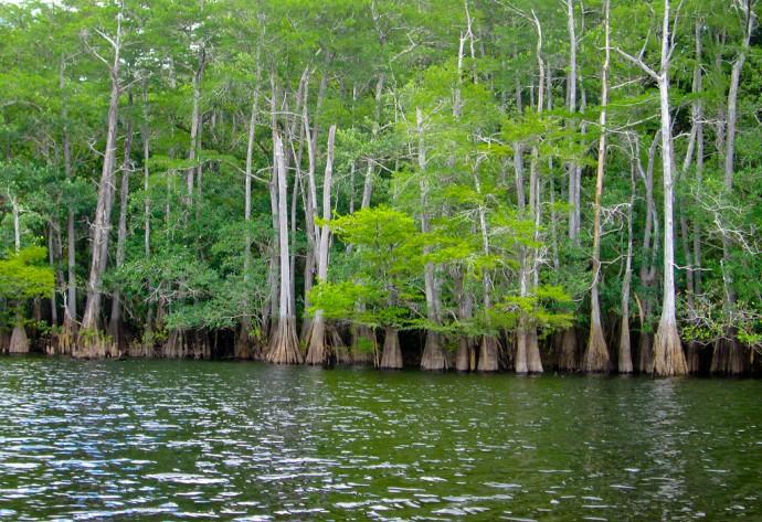 Dense cypress strands line the creek
