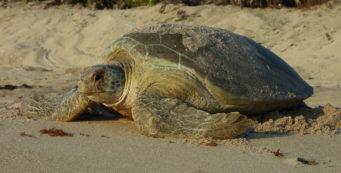 Green sea turtle nesting (FWC)