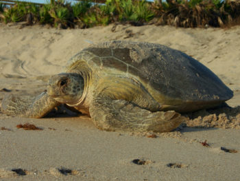 Green sea turtle nesting (FWC)