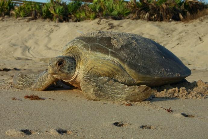 Green Sea Turtle Nesting Fwc