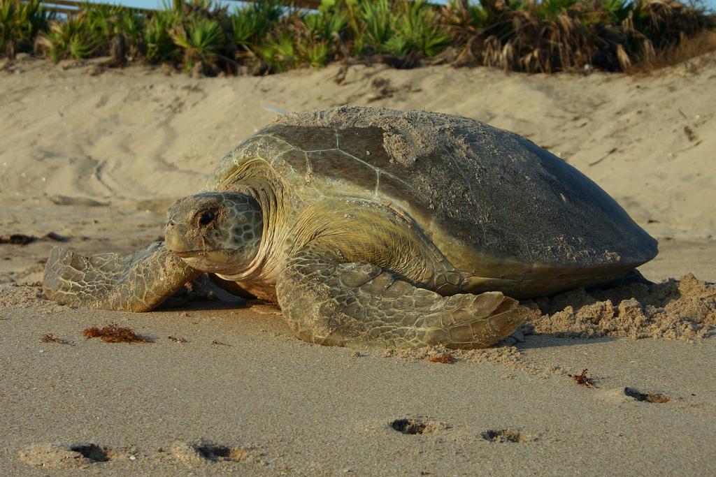 Sea Turtle Walks In Florida Florida Hikes