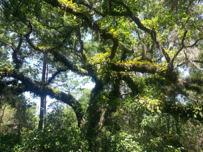 Live Oak with Resurrection Ferns