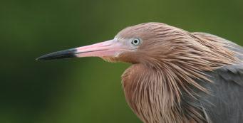 Reddish egret by Chad-Anderson