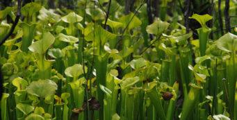 Trumpet-leaf pitcher plants