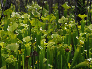 Trumpet-leaf pitcher plants