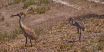 Sandhill cranes at Catfish Creek Preserve