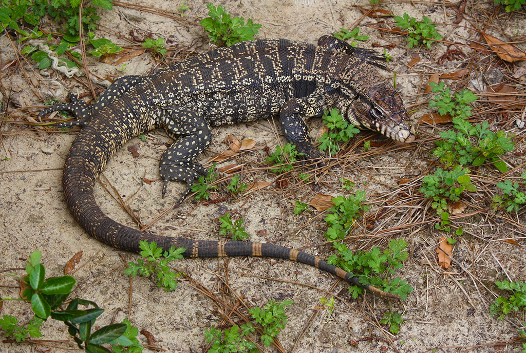 Colorful Pet Lizards Tegus establish a foot...