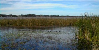 Marshy shoreline of Lake Tarpon at John Chesnut Sr. Park
