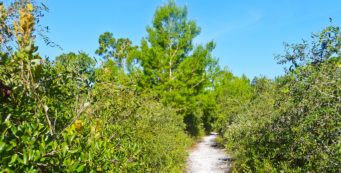 Scrub habitat on the Halpatiokee Nature Trail (Lori Burris)