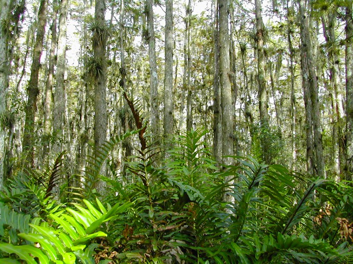 Giant leather ferns along the Cypress Trail