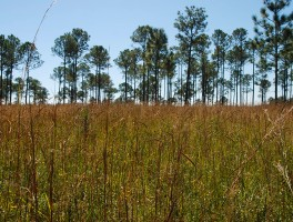 Pine savanna near the Visitor Center
