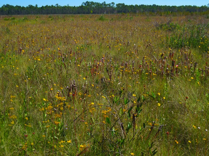 Pitcher plants thrive in the wet savanna JK