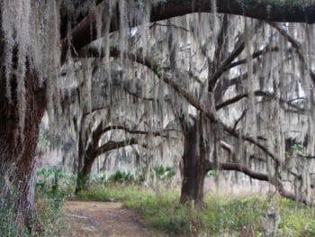 Tuscawilla Preserve live oak canopy