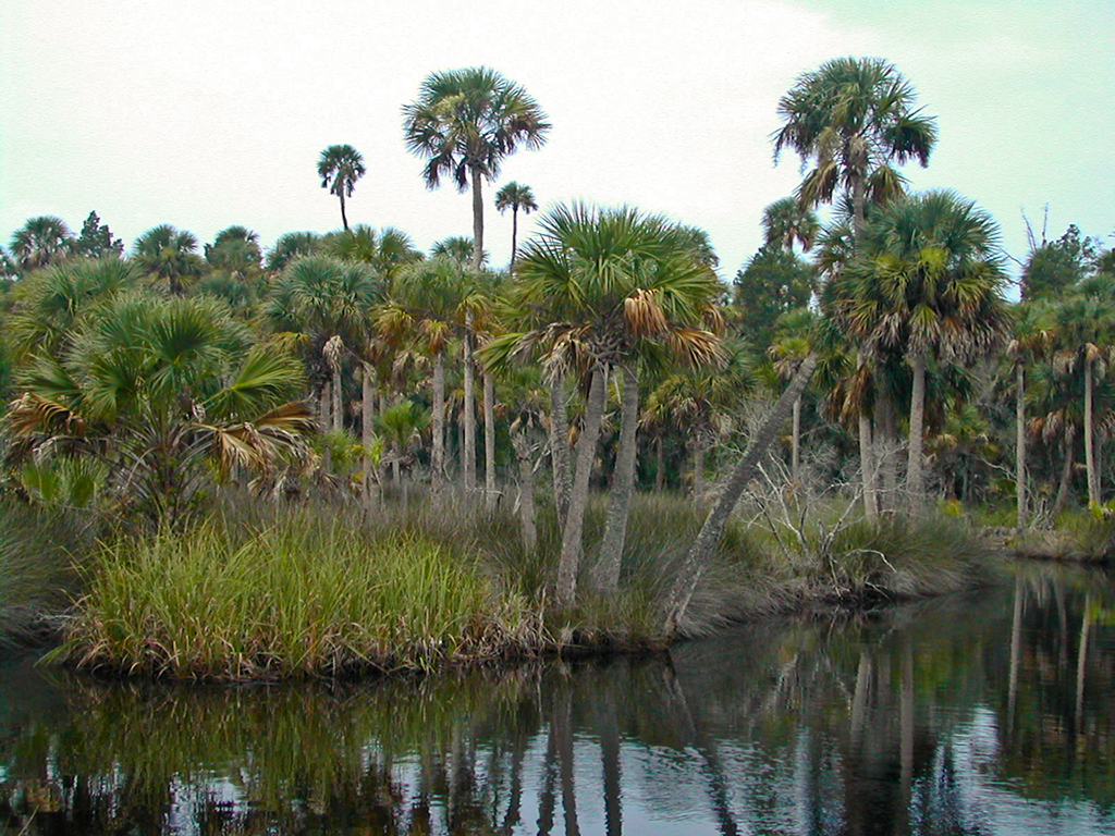California Swamp in Dixie County