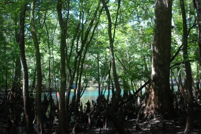Peeking at Manatee Springs through the cypresses