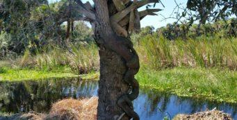 Strangler Fig snaking up a palm tree