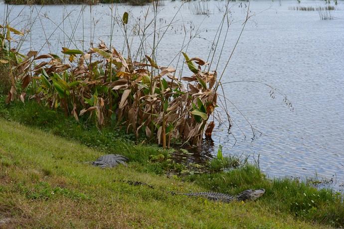 Alligators at Taylor Creek STA