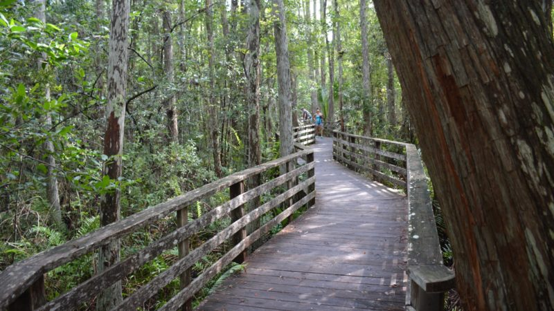 Corkscrew boardwalk near wood stork rookery