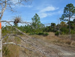 Buggy tracks in Big Cypress