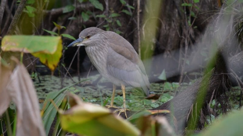 juvenile black-crowned night-heron Corkscrew