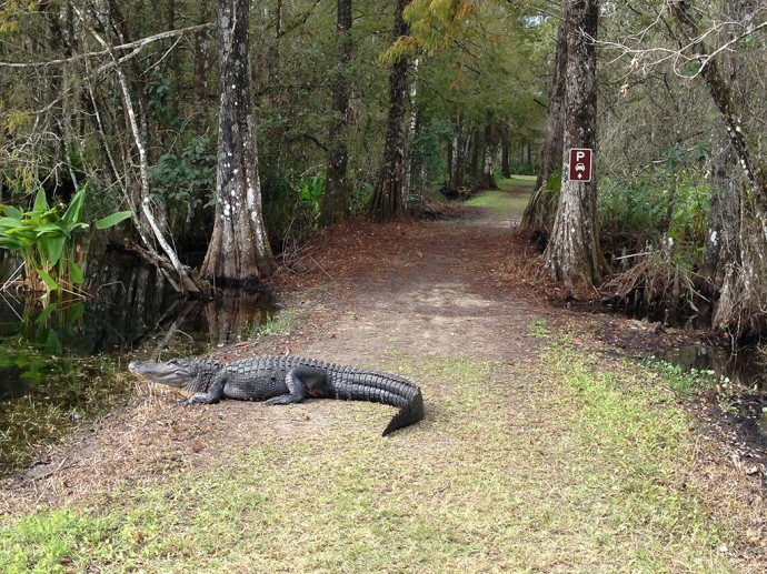 Alligator on the trail at CREW Bird Rookery Swamp