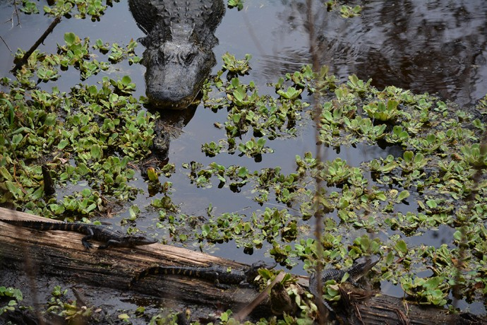 Mama and baby gators at Paynes Creek