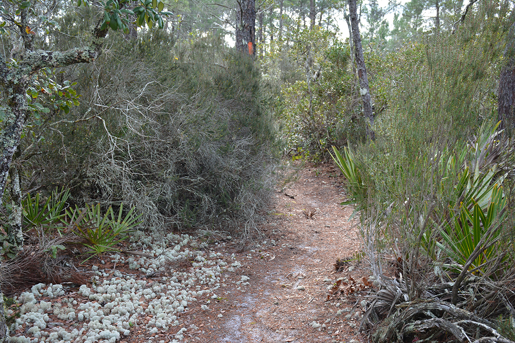 Chuluota Wilderness rosemary scrub