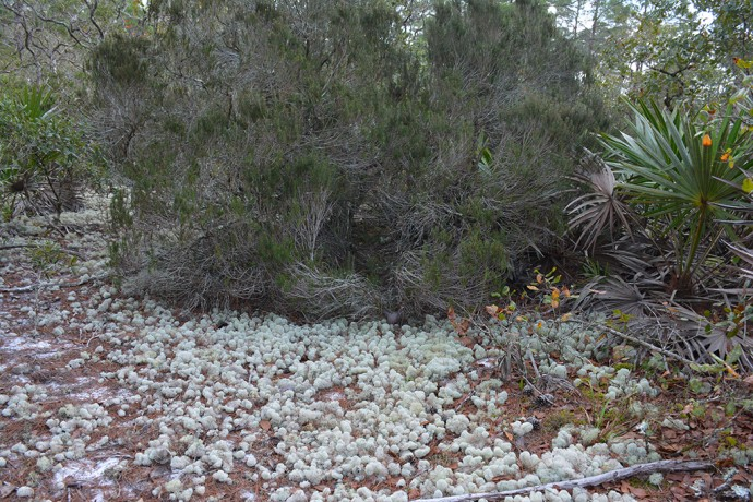 Florida rosemary and the lichens that like it