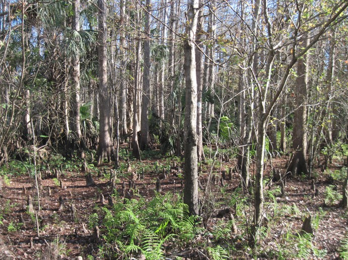 Cypress knees are everywhere along this trail