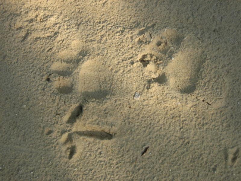 Bear and turkey tracks