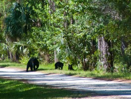 Florida's bear problems will not be solved by hunting