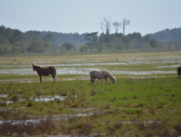 Pony Up at Chincoteague