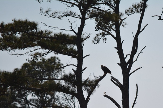 Eagle watching over its fledglings