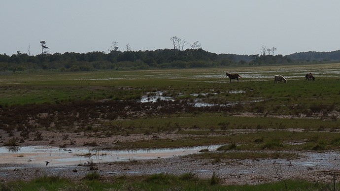 Ponies on the marshy plain