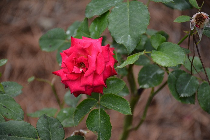 The Edisto rose