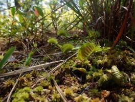 Among the Venus flytraps at Carolina Beach State Park