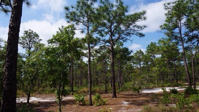 Pine uplands