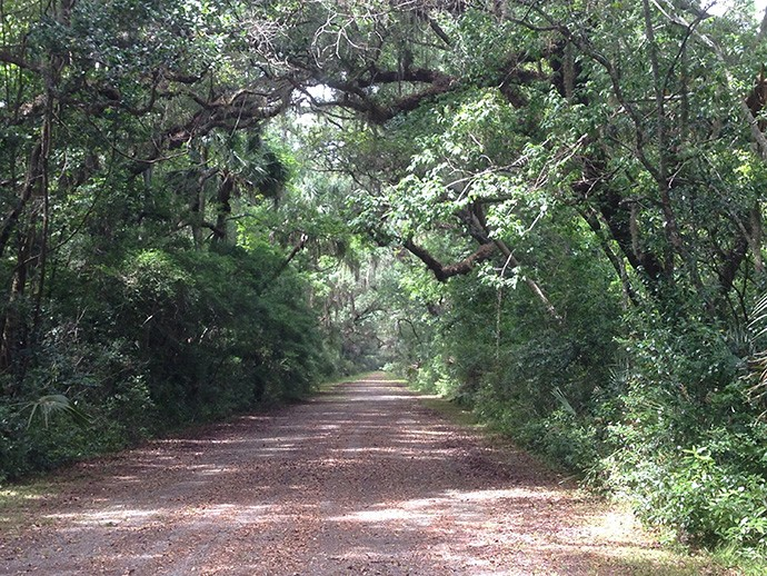 Live oak canopy over Old A1A