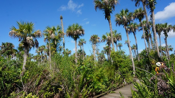 A Seussian forest of palms