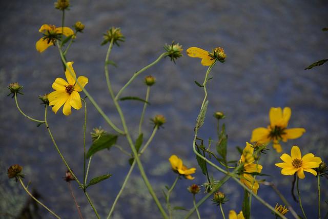 Fall wildflowers at Wuestoff Park