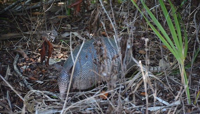 Armadillos are unavoidable on this hike