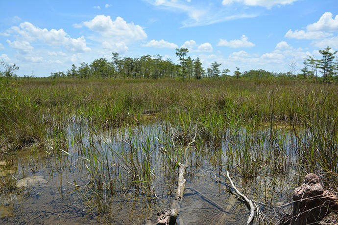 Big Cypress in summer: usually wet