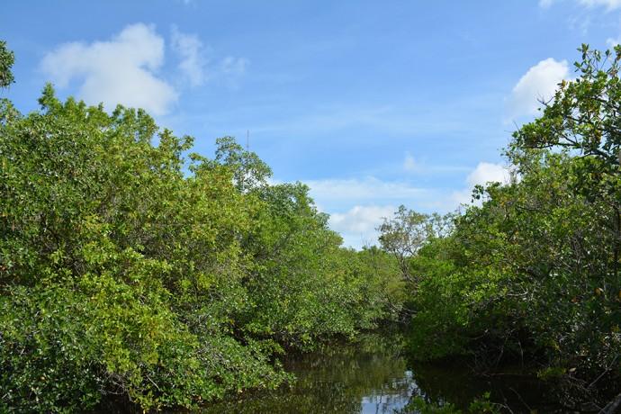 Mangroves at Rookery Bay NERR