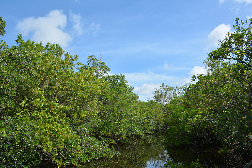 Mangroves at Rookery Bay NERR